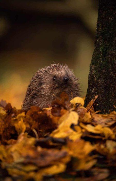 11-November-KevWyatt-Hedgehog-HiRes