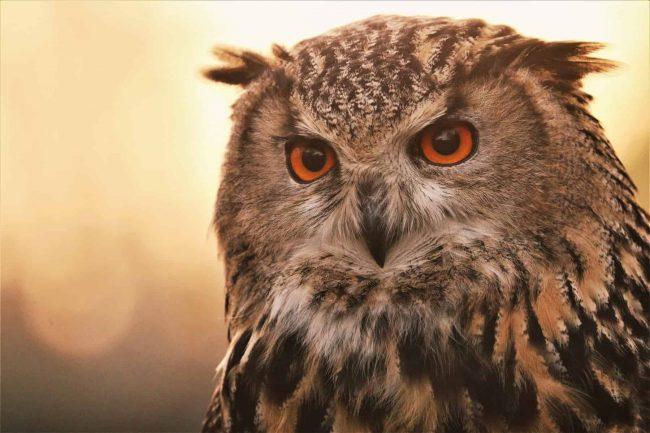 12-December-DawnCansfield-EagleOwl-HiRes