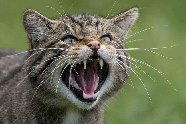 9-September-RobertMurray-Wildcat-HiRes