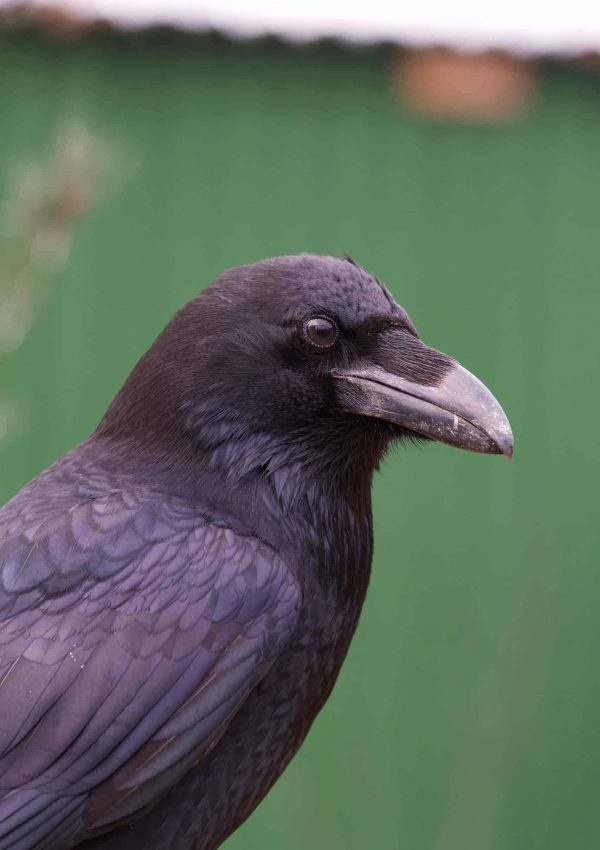 Raven-Munnin