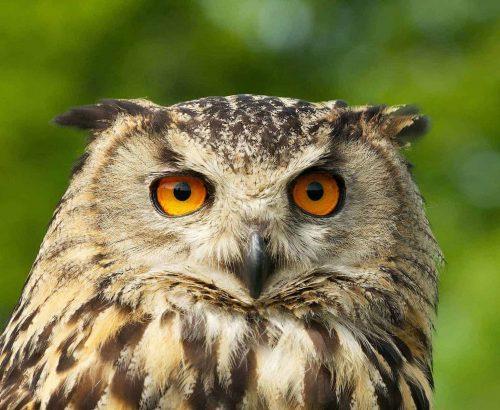 New Website - Eagle Owl Close-up 07-18
