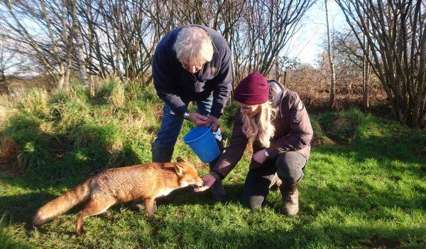 New Website - Film David-Countryfile feeding fox 07-18