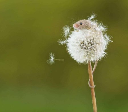 New Website - Harvest Mouse on Dandelion 07-18