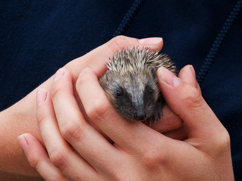 New Website - Hedgehogin hand02-19