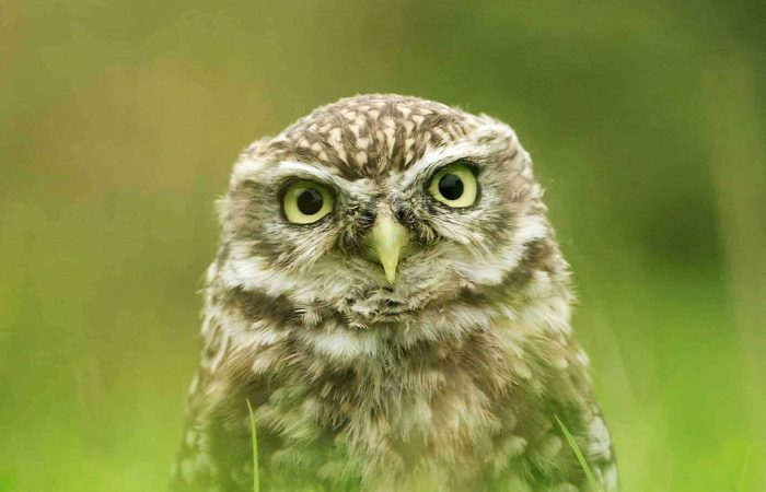 New Website - Little Owl in Grass Pt 07-18