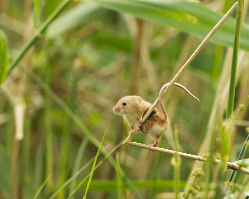 New Website - Nature Reserve-HarvestMouseClimbing 07-18