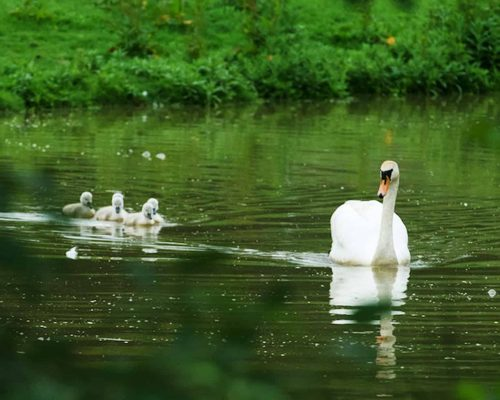 New Website - Nature Reserve Swans 07-18