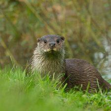 New Website - Otter on Bank 07-18