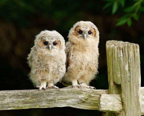 New Website - Tawny Owl Chicks on Fence 07-18