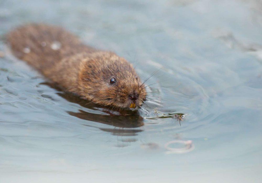 New Website - Water Vole in water 07-18