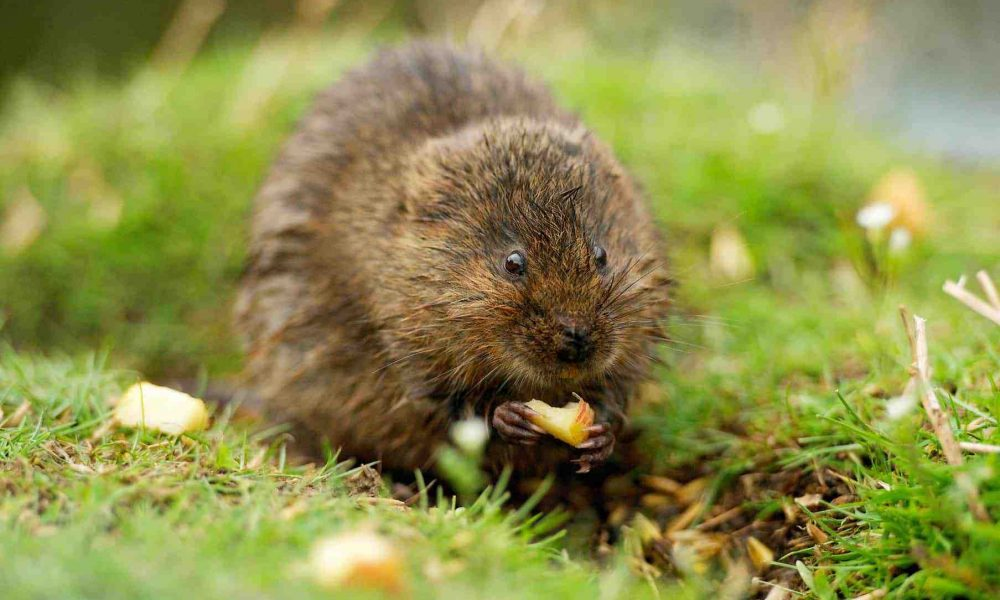 New Website - Water Vole with apple 07-18