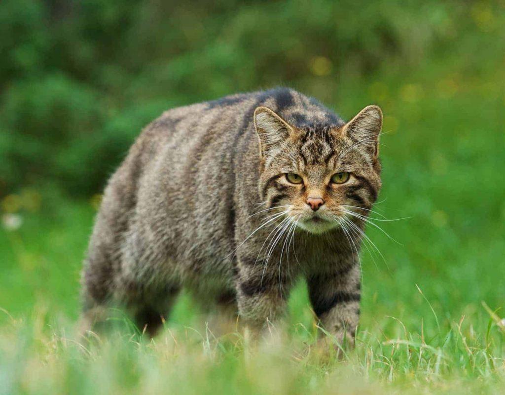 New Website - Wildcat-11-19