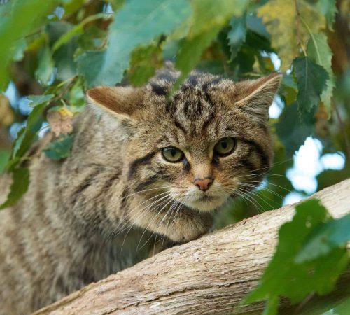 New Website - Wildcat in tree 07-18