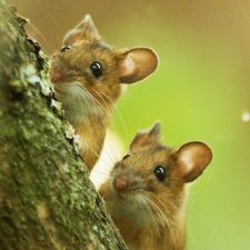 New Website - Yellow-necked Mice l-s12-18