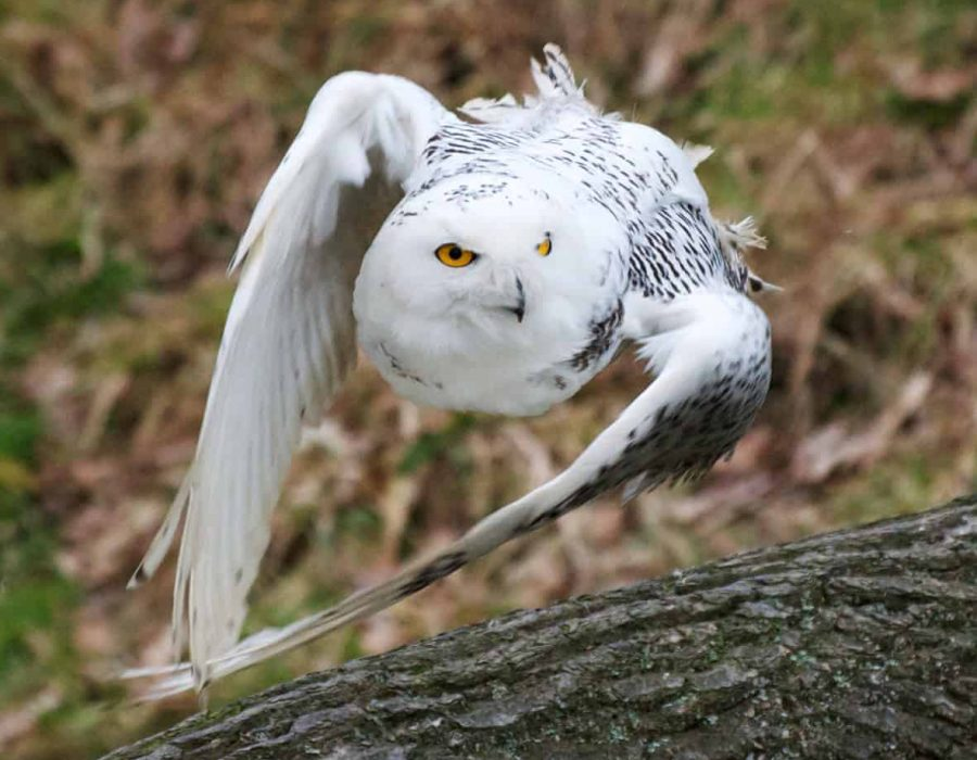New Website -snowy owl flying 12-18