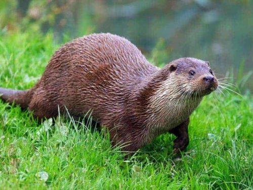 Otter-GiampaoloMasserano-17-3-20