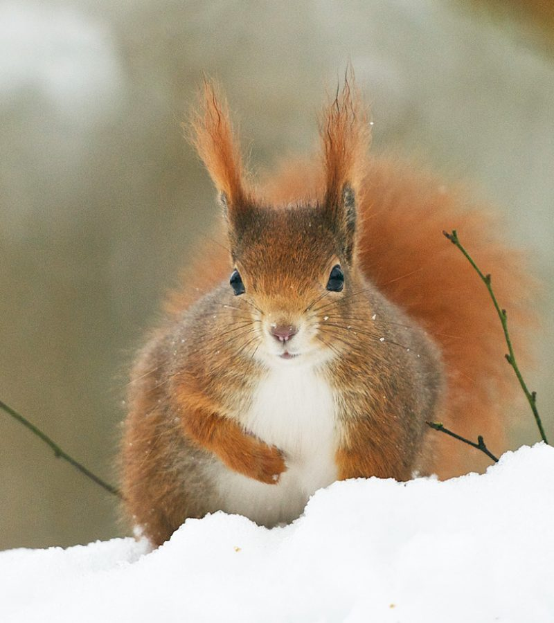 RedSquirrel-Snow07-21