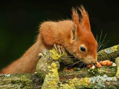 Squirrel-Samantha-Merrett-Williams17-3-20