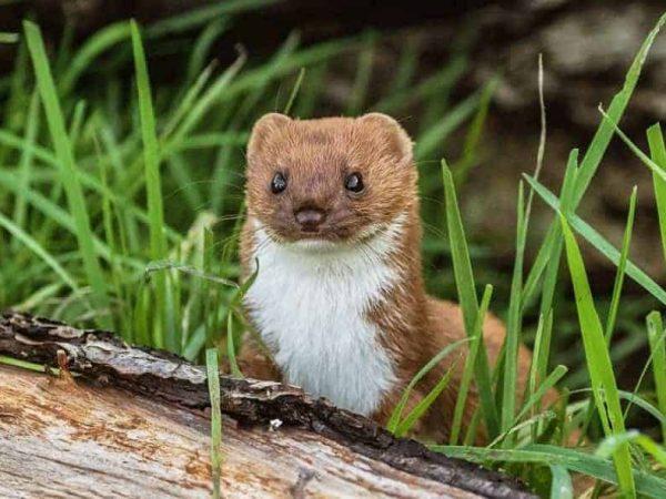 Weasel-Bett Atherton-17-3-20