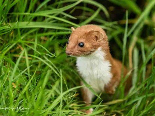 Weasel-Samantha-Merrett-Williams17-3-20