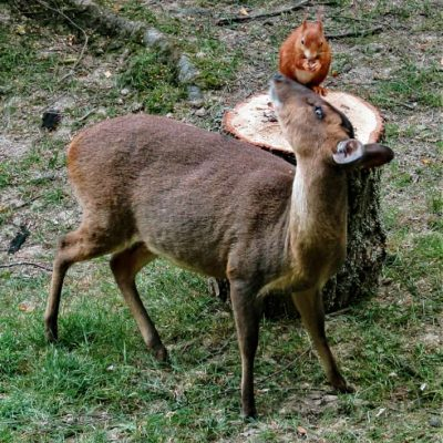 gallery-LauraHaley-muntjac&squirrel12-20