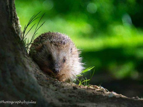 gallery-julie-whitcombe-hedgehog06-19